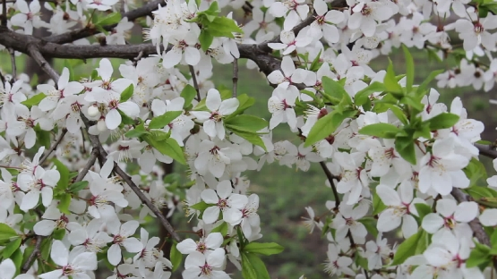 Branch of a blossoming plum sways in the wind