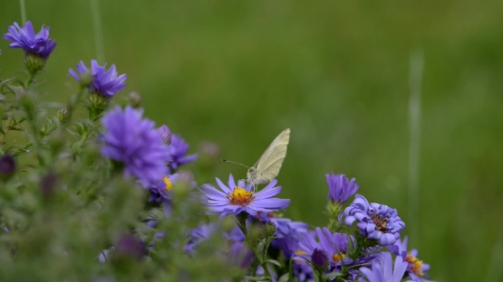 Butterfly on purple flowers in summer time. Behind butterfly and flowers are green grass