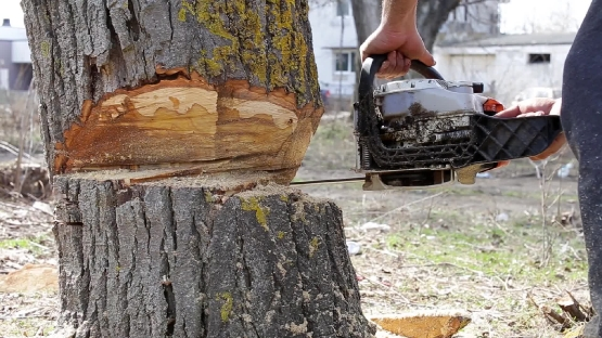 Cutting big tree