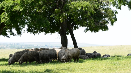 Flock of sheep under trees in a grassy field