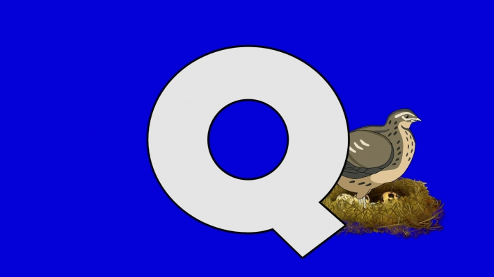 Letter Q and Quail (background)