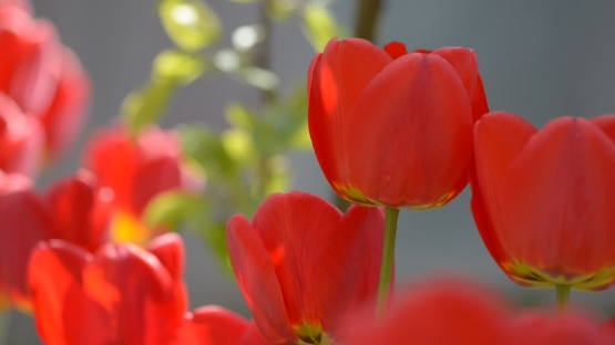 Tight shot of red tulip flowers waving in wind