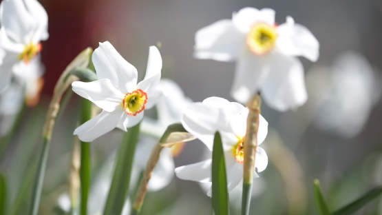 White daffodils, Spring booming flowers with morning light in the garden