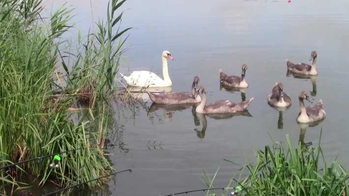 Young swans swim on the pond