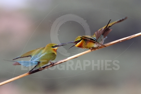 Blue tailed bee eaters fight