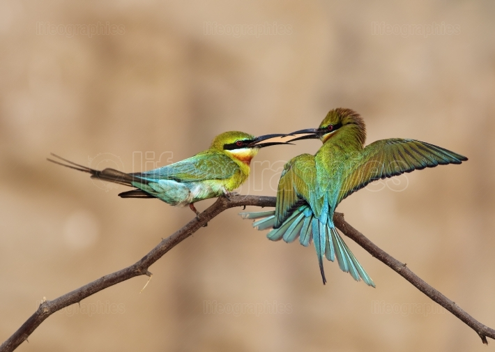 Feeding -blue tailed bee eater