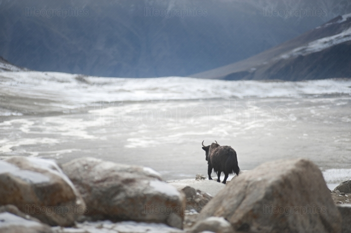 A lonely yak with a beautiful landscape of Upper Shimshal.
