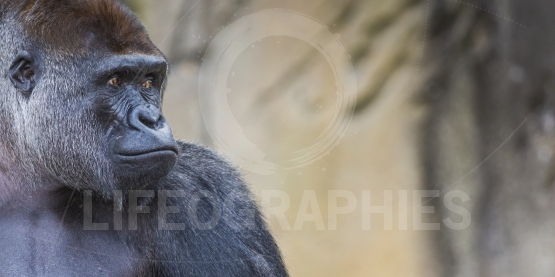 A western lowland female gorilla standing facing forward