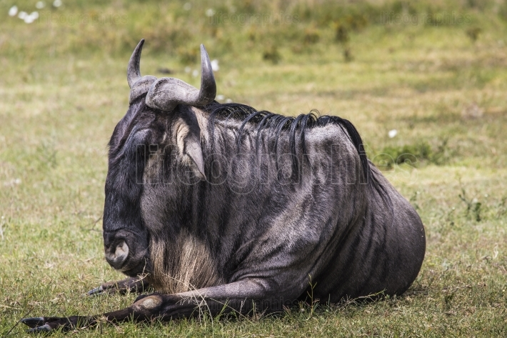 A wildebeest mother and newly born calf, ngorongoro crater, tanz