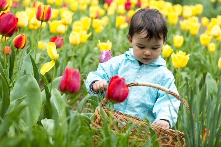Adorable  toddler girl gathering tulips