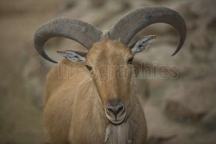 Adult barbary sheep
