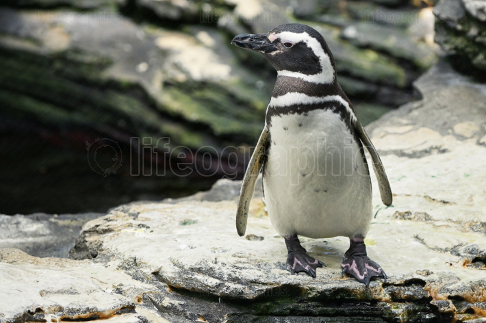 African penguin on stones