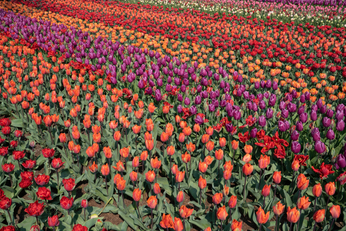 Agriculture, field of tulip flowers