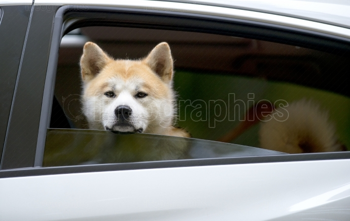 Akita Inu dog sitting in the car with open window and looking outside