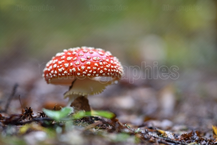 Amanita muscaria,  poisonous mushroom in nature