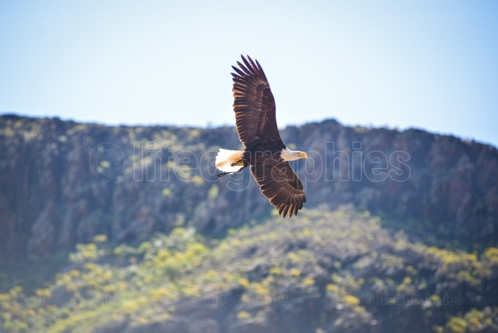 American bald eagle in animals park in gran canaria, spain