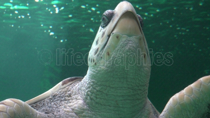 Amphibious Sea Turtle Swimming
