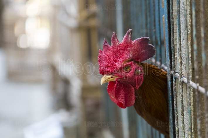 Angry chicken or hen in the cages for sell in the market. tortur