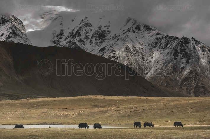 Animals  grazing in areas of high Karakoram Mountains