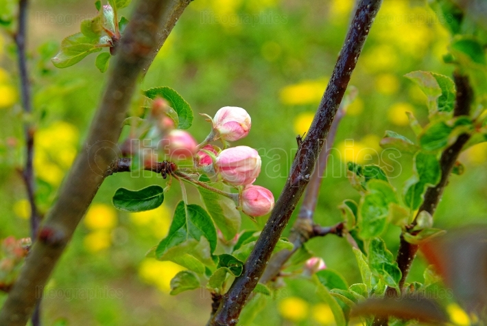 Apple blossoms in early spring on the young Apple tree