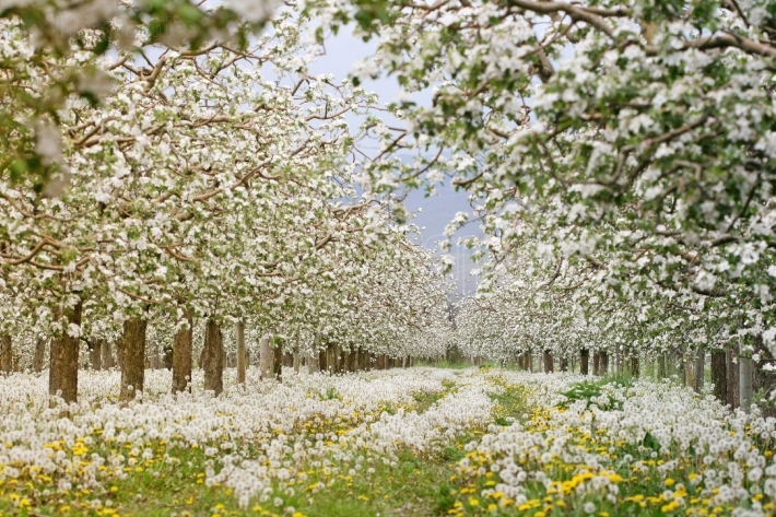 Apple orchard in spring. blooming apple trees,,carpet of blossoming dandelions,