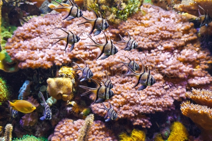 Aquarium   Pterapogon fish
