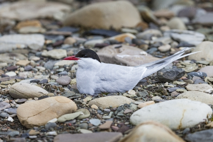 Arctic tern standing near her nest protecting her egg from preda