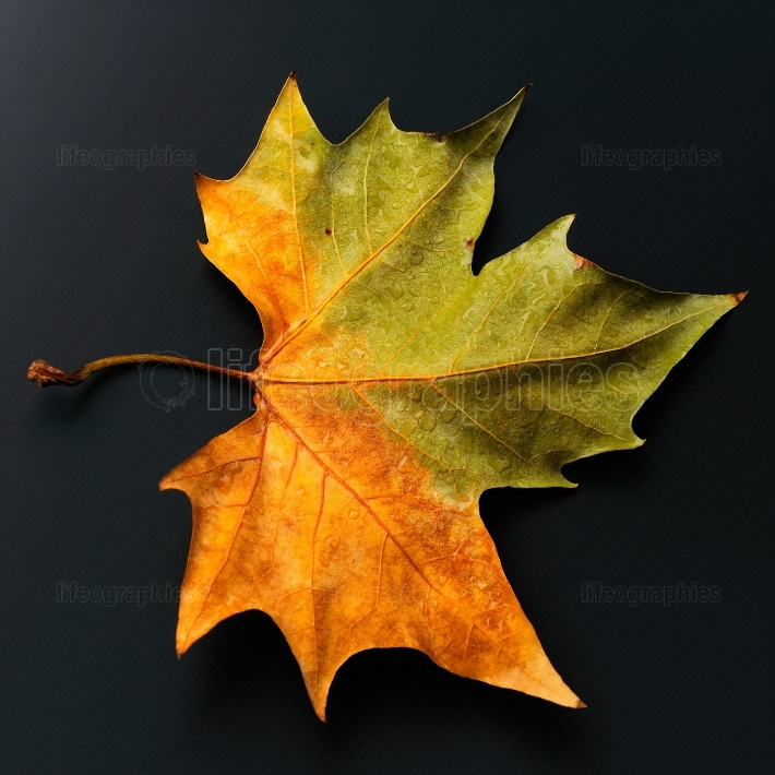 Autumn leaf against black background