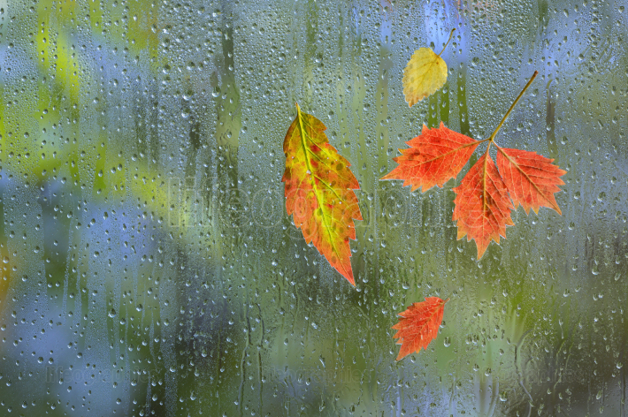 Autumn Leaves In Rainy On The Window Glass