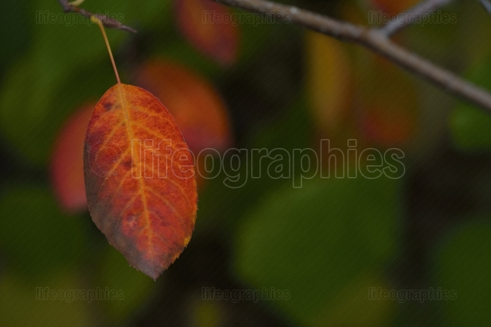 Autumnal red leaf