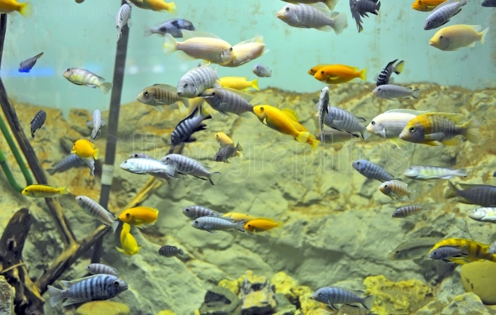Background of African fishes