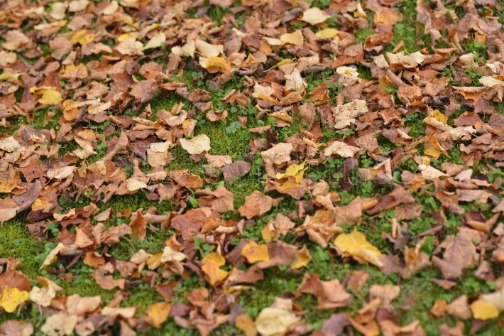 Background of fallen dry leaves