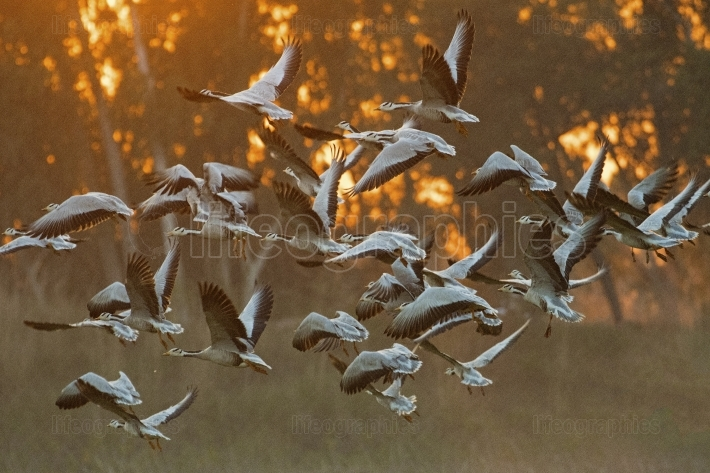 Bar headed goose at Sunset