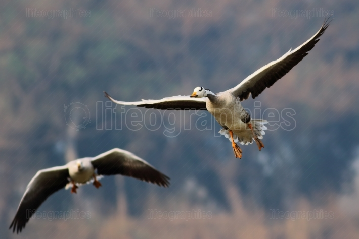 Bar headed goose Flying
