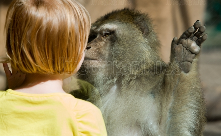 Barbary Macaque and child head