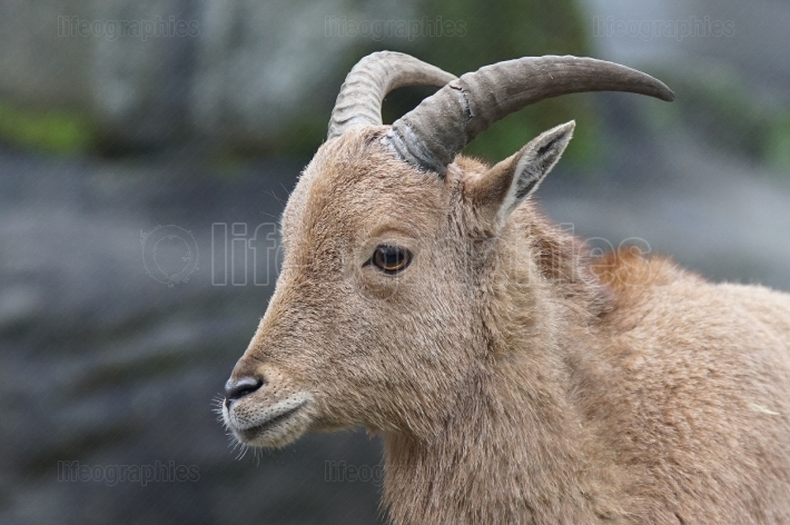 Barbary sheep, Ammotragus lervia