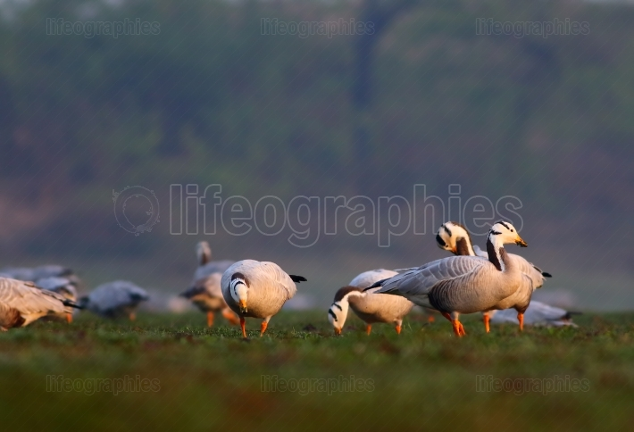 Bar-headed goose (Anser indicus)