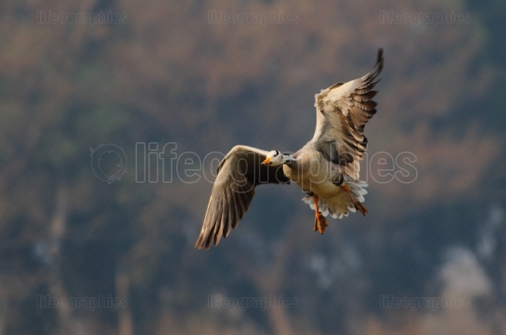 Bar-headed goose (Anser indicus) flying