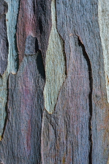 Bark of Eucalyptus tree, texture and background