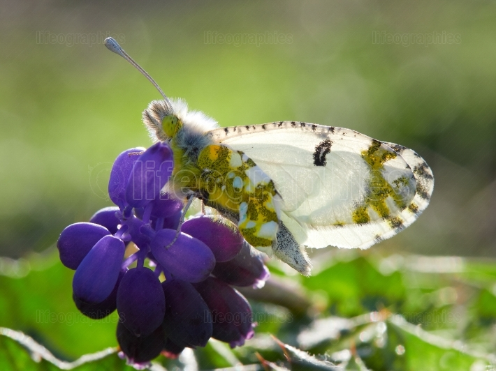 Bath white butterfly on purple flower (Pontia daplidice)