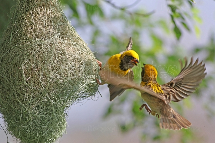 Baya weaver fighting