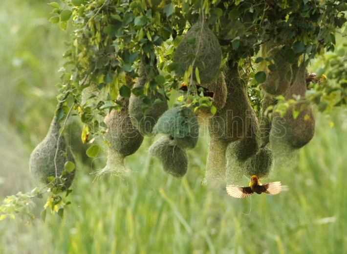 Baya weaver with nest