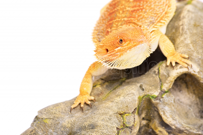 Bearded dragon looking for pray
