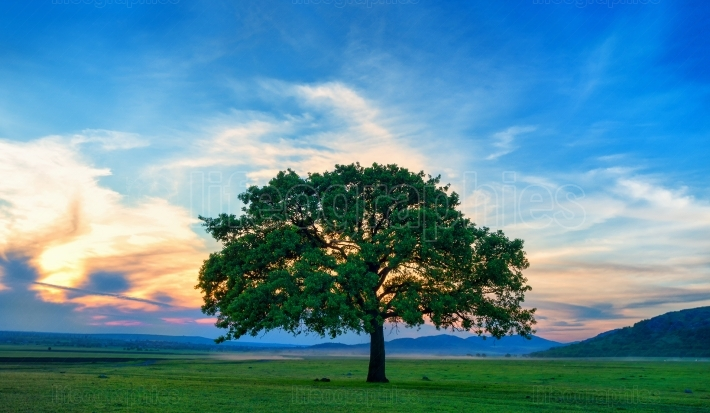 Beautiful and old Oak at the sunset