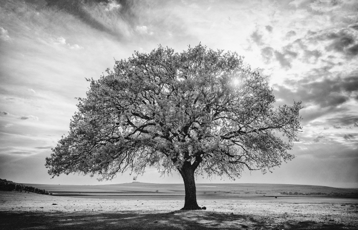 Beautiful and old Oak at the sunset. Black and white image
