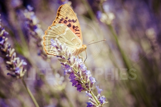 Beautiful butterfly sitting on lavender plants