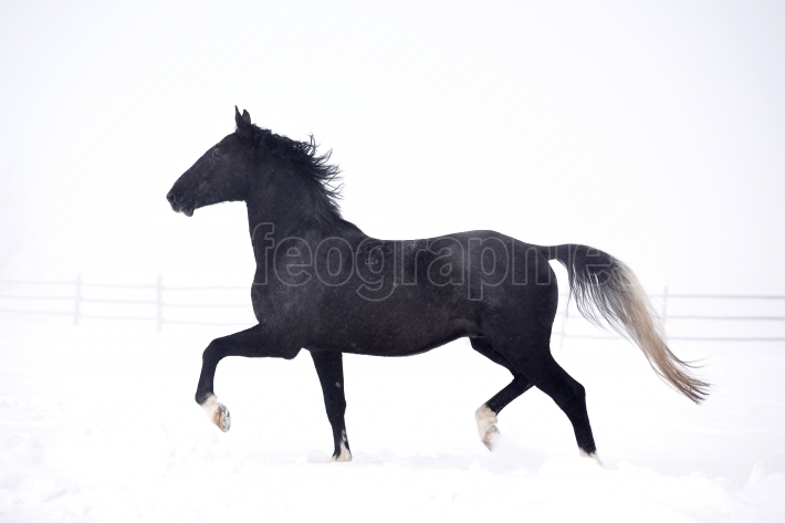 Beautiful horse running in winter