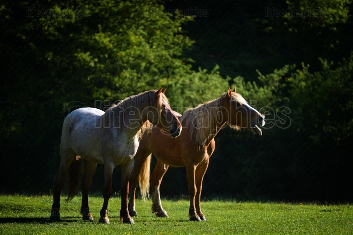 Beautiful horses outdoor on mountain pasture