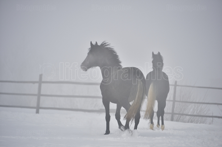 Beautiful horses playing outdoor in winter