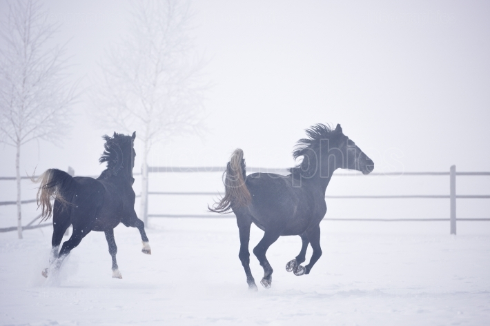 Beautiful horses running outdoor in winter
